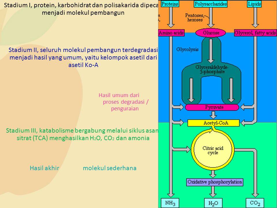 Stadium I, protein, karbohidrat dan polisakarida dipecah menjadi molekul pembangun Stadium II, seluruh molekul pembangun terdegradasi menjadi hasil ya