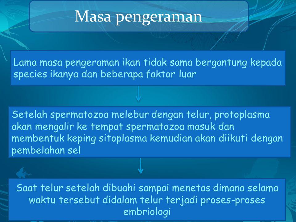 Masa pengeraman Saat telur setelah dibuahi sampai menetas dimana selama waktu tersebut didalam telur terjadi proses-proses embriologi Setelah spermato