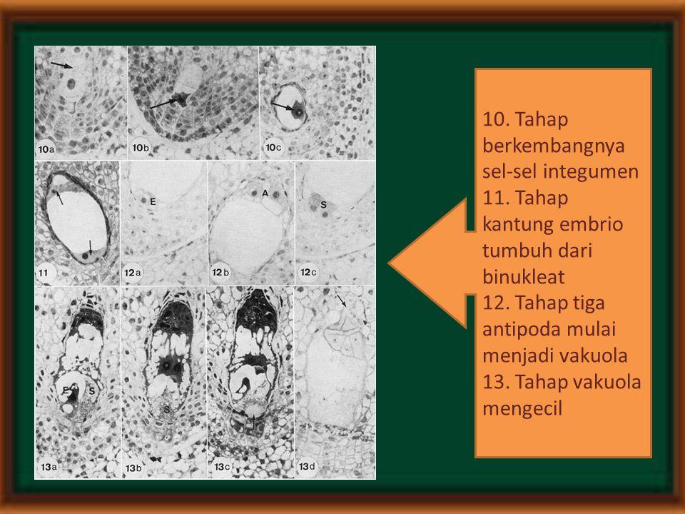 10. Tahap berkembangnya sel-sel integumen 11. Tahap kantung embrio tumbuh dari binukleat 12. Tahap tiga antipoda mulai menjadi vakuola 13. Tahap vakuo