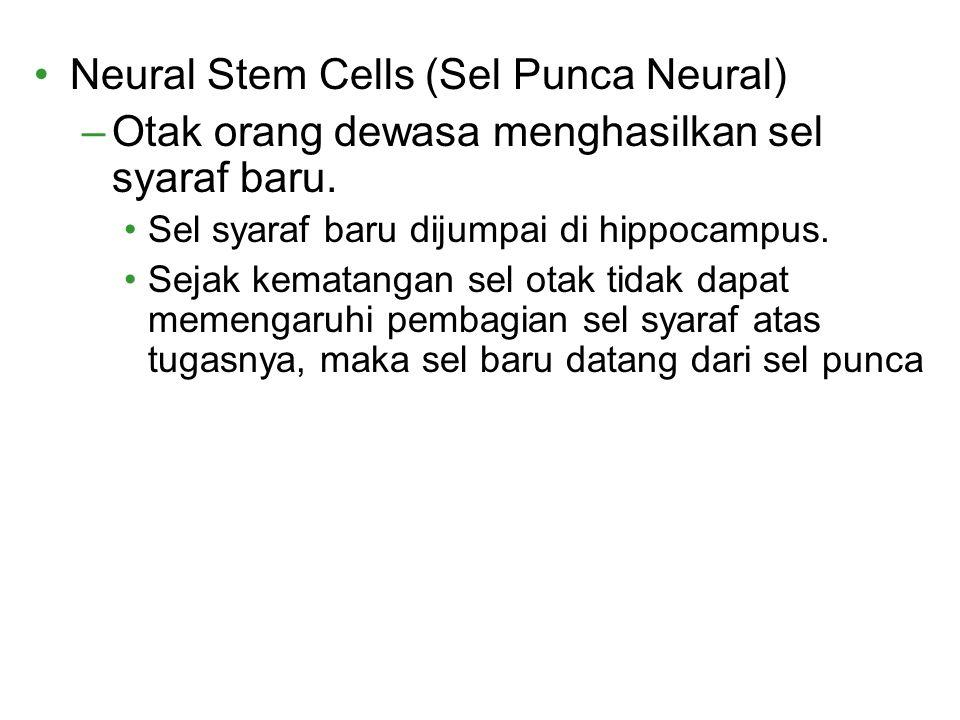 Neural Stem Cells (Sel Punca Neural) –Otak orang dewasa menghasilkan sel syaraf baru. Sel syaraf baru dijumpai di hippocampus. Sejak kematangan sel ot