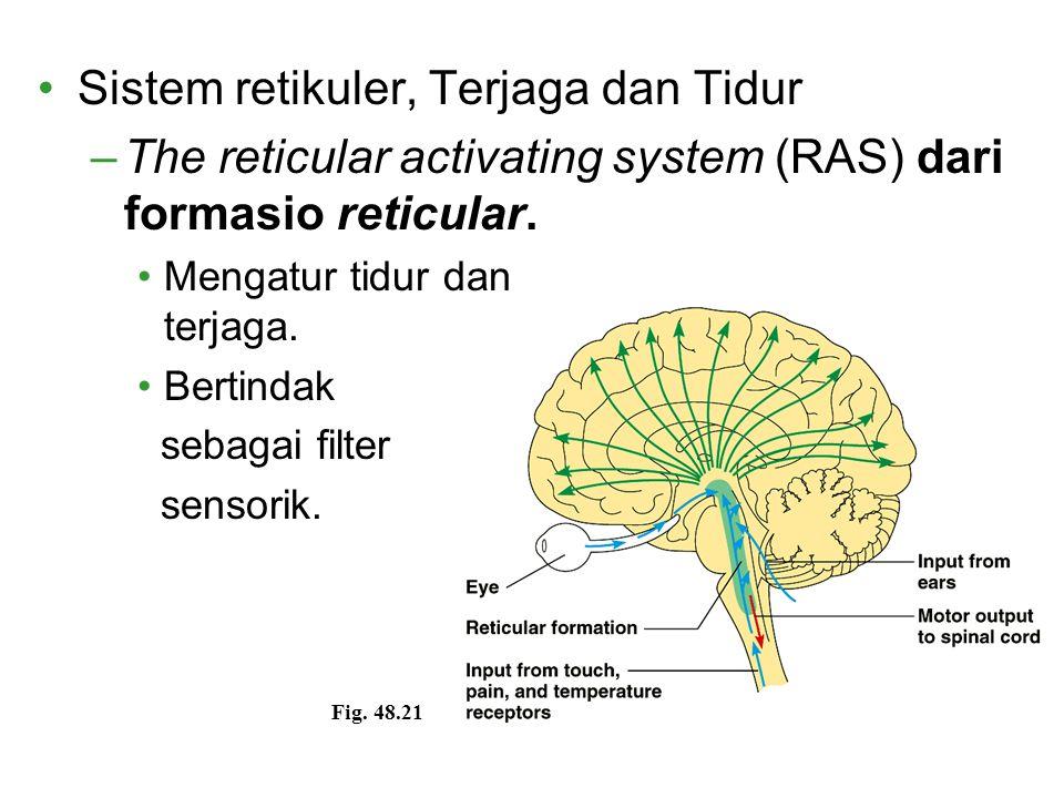 Sistem retikuler, Terjaga dan Tidur –The reticular activating system (RAS) dari formasio reticular. Mengatur tidur dan terjaga. Bertindak sebagai filt