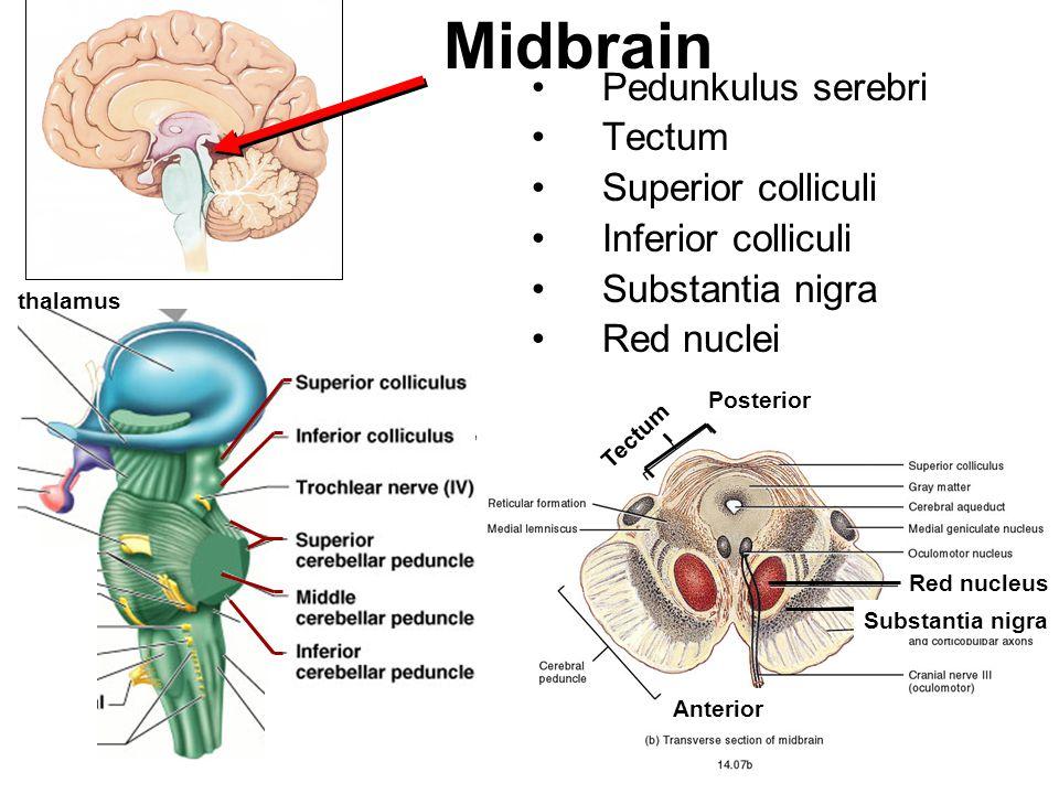 Pedunkulus serebri Tectum Superior colliculi Inferior colliculi Substantia nigra Red nuclei Midbrain thalamus Red nucleus Substantia nigra Tectum Post