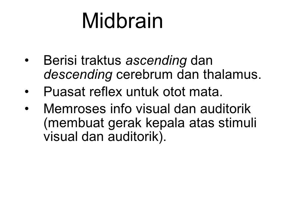 Midbrain Berisi traktus ascending dan descending cerebrum dan thalamus. Puasat reflex untuk otot mata. Memroses info visual dan auditorik (membuat ger