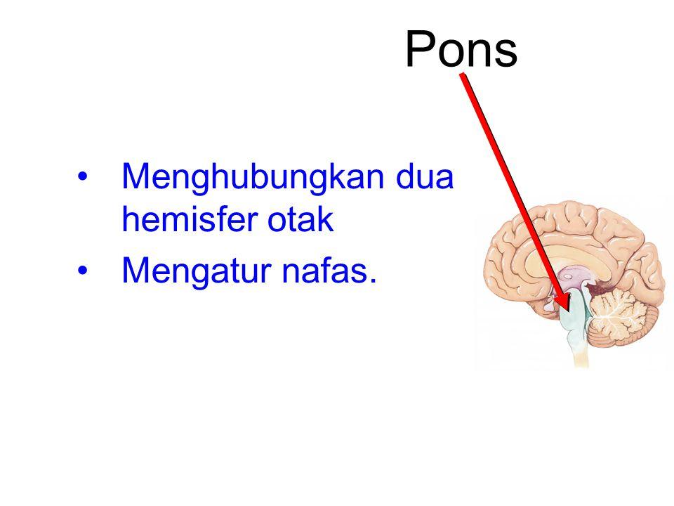 Pons Menghubungkan dua hemisfer otak Mengatur nafas.