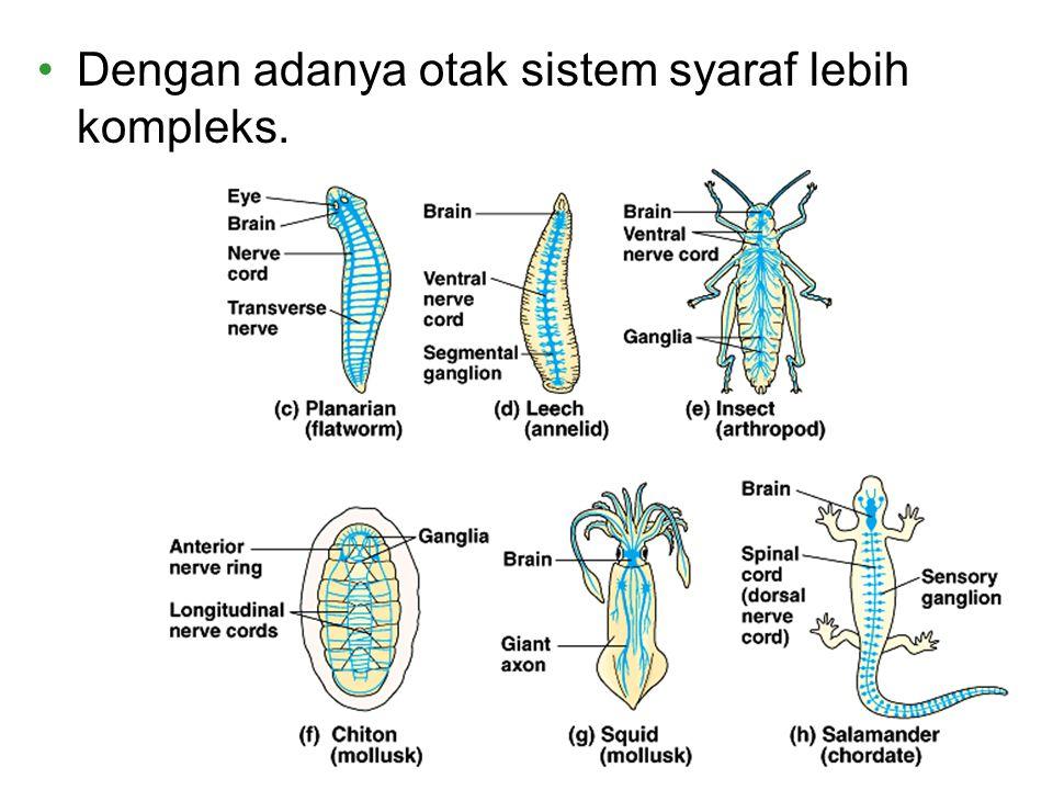 Dengan adanya otak sistem syaraf lebih kompleks.