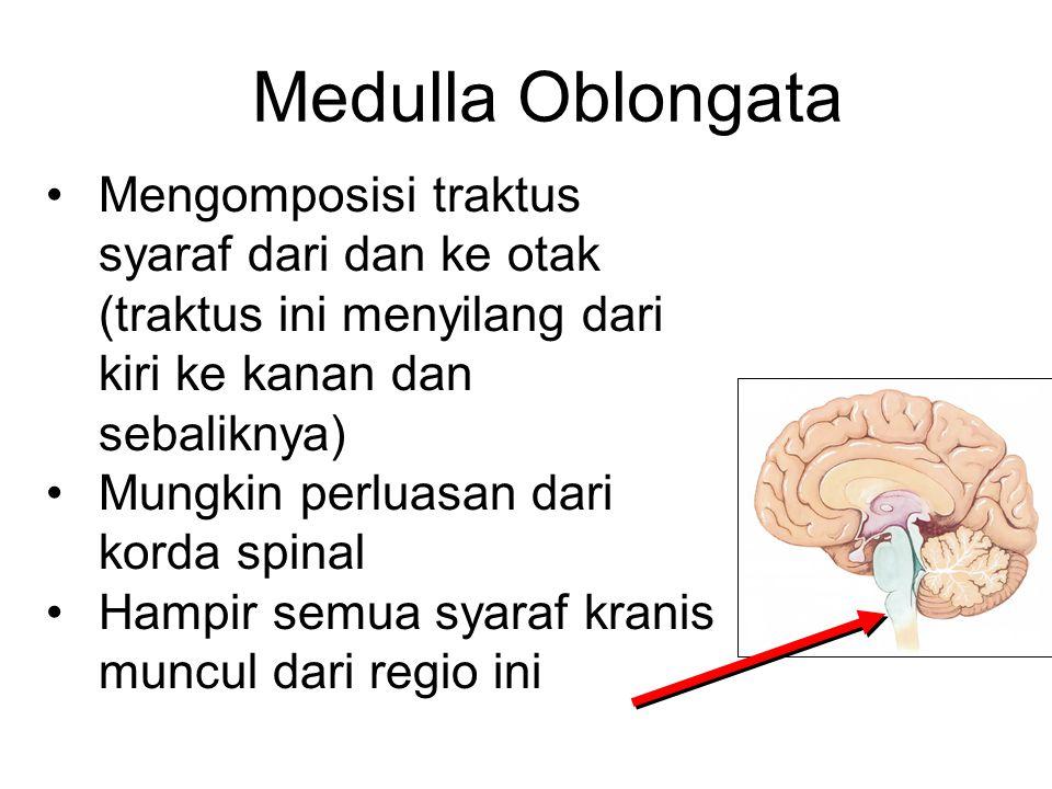 Medulla Oblongata Mengomposisi traktus syaraf dari dan ke otak (traktus ini menyilang dari kiri ke kanan dan sebaliknya) Mungkin perluasan dari korda