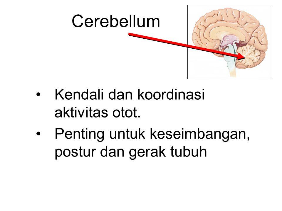 Cerebellum Kendali dan koordinasi aktivitas otot. Penting untuk keseimbangan, postur dan gerak tubuh
