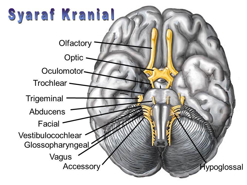 Olfactory Optic Oculomotor Trochlear Trigeminal Abducens Vestibulocochlear Glossopharyngeal Vagus Accessory Hypoglossal Facial