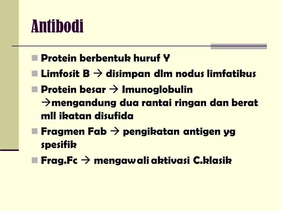Antibodi Protein berbentuk huruf Y Limfosit B  disimpan dlm nodus limfatikus Protein besar  Imunoglobulin  mengandung dua rantai ringan dan berat m