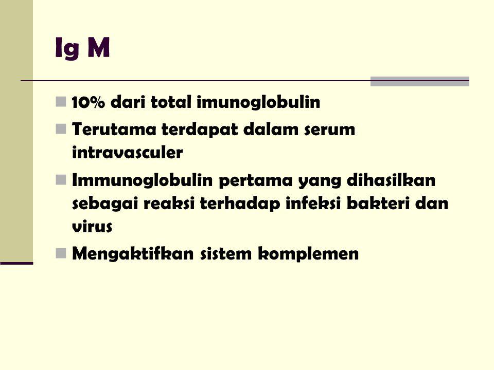 Ig M 10% dari total imunoglobulin Terutama terdapat dalam serum intravasculer Immunoglobulin pertama yang dihasilkan sebagai reaksi terhadap infeksi b