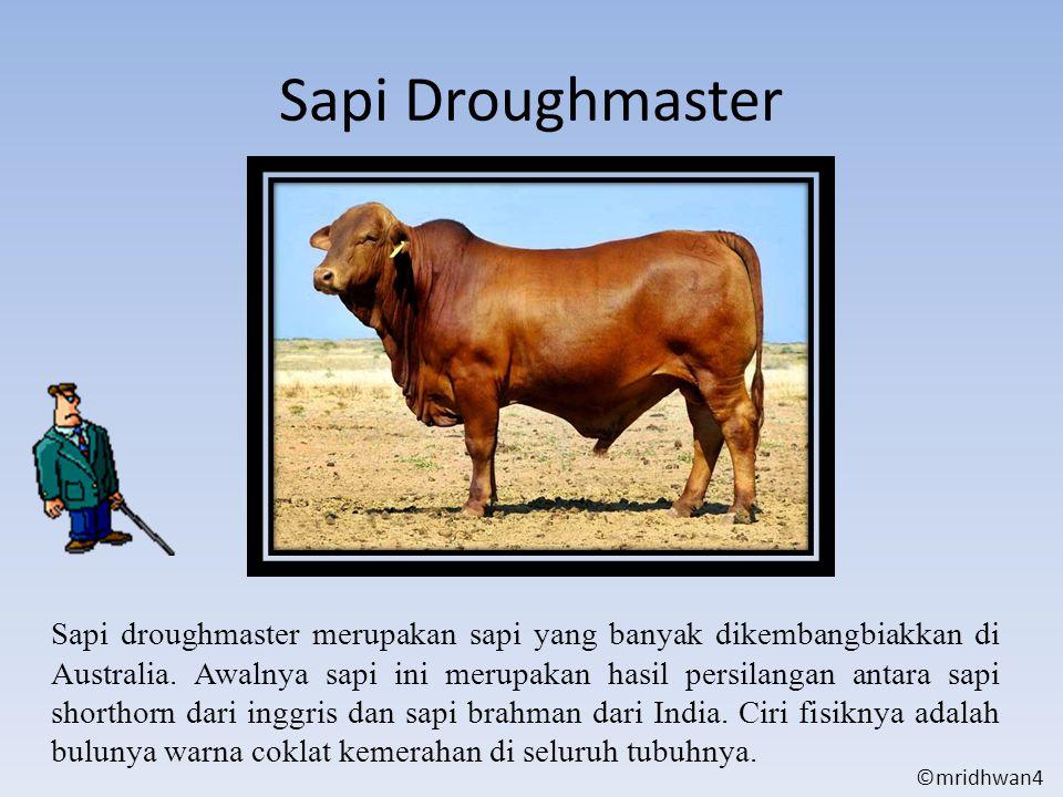 Sapi Droughmaster Sapi droughmaster merupakan sapi yang banyak dikembangbiakkan di Australia. Awalnya sapi ini merupakan hasil persilangan antara sapi