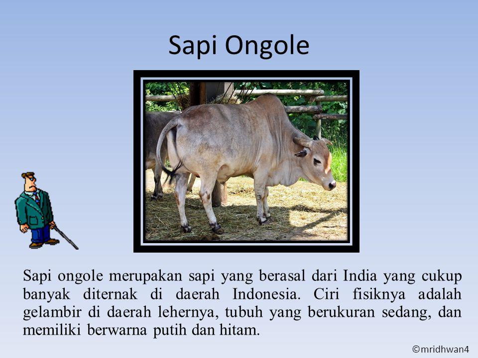 Sapi Ongole Sapi ongole merupakan sapi yang berasal dari India yang cukup banyak diternak di daerah Indonesia. Ciri fisiknya adalah gelambir di daerah
