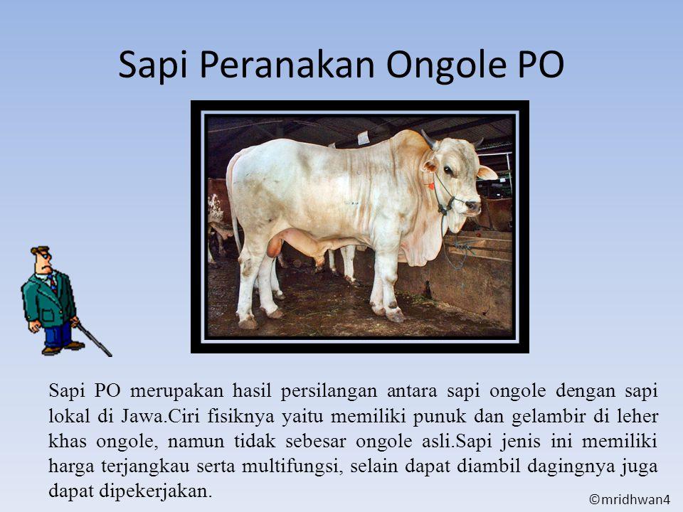 Sapi Peranakan Ongole PO Sapi PO merupakan hasil persilangan antara sapi ongole dengan sapi lokal di Jawa.Ciri fisiknya yaitu memiliki punuk dan gelam