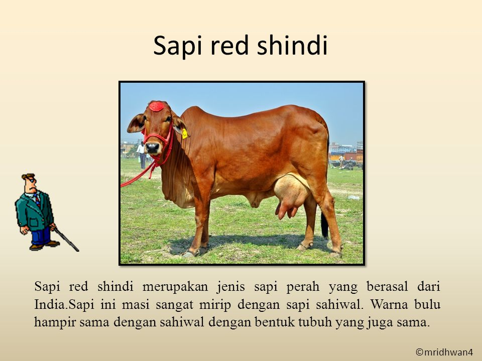 Sapi red shindi Sapi red shindi merupakan jenis sapi perah yang berasal dari India.Sapi ini masi sangat mirip dengan sapi sahiwal. Warna bulu hampir s