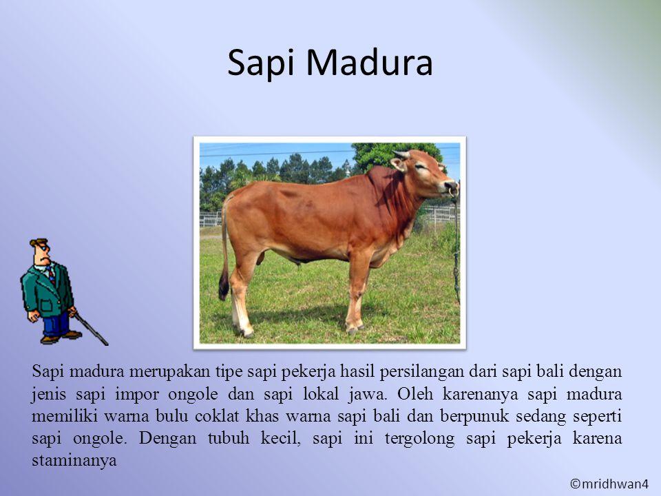 Sapi Madura Sapi madura merupakan tipe sapi pekerja hasil persilangan dari sapi bali dengan jenis sapi impor ongole dan sapi lokal jawa. Oleh karenany