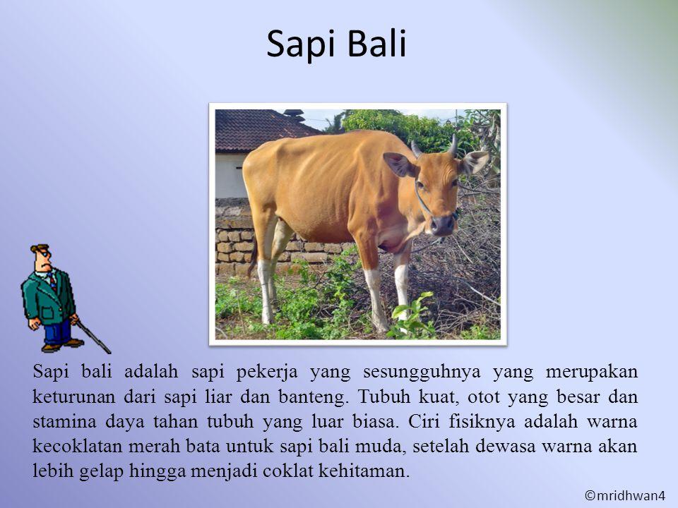 Sapi Bali Sapi bali adalah sapi pekerja yang sesungguhnya yang merupakan keturunan dari sapi liar dan banteng. Tubuh kuat, otot yang besar dan stamina