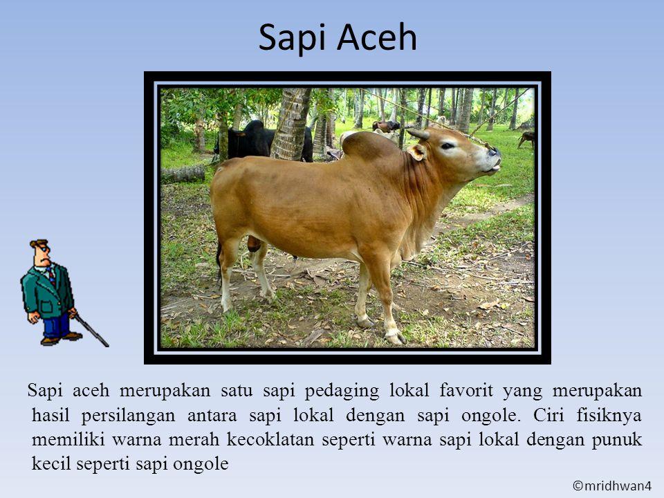 Sapi Aceh Sapi aceh merupakan satu sapi pedaging lokal favorit yang merupakan hasil persilangan antara sapi lokal dengan sapi ongole. Ciri fisiknya me