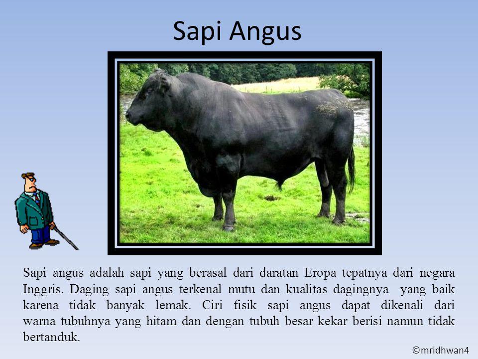 Sapi Angus Sapi angus adalah sapi yang berasal dari daratan Eropa tepatnya dari negara Inggris. Daging sapi angus terkenal mutu dan kualitas dagingnya