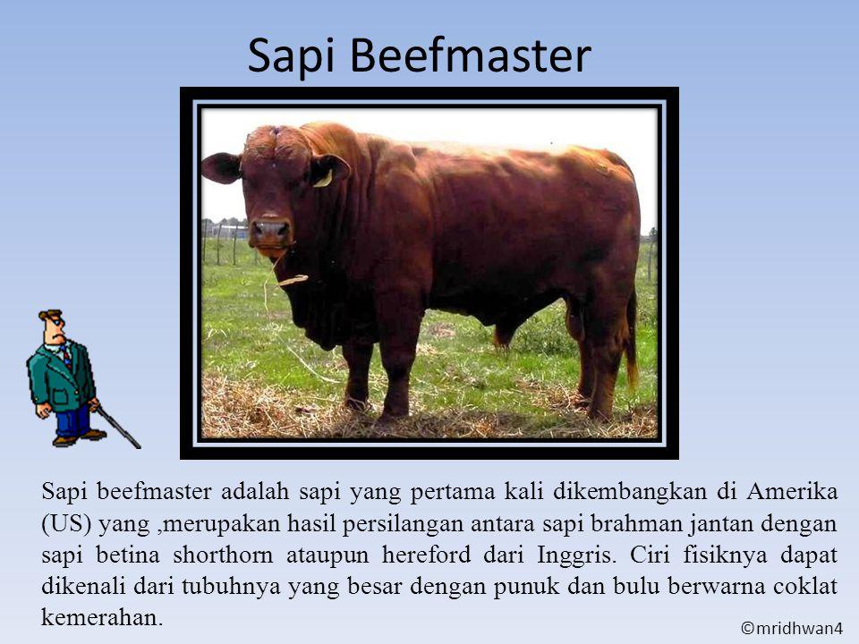 Sapi Beefmaster Sapi beefmaster adalah sapi yang pertama kali dikembangkan di Amerika (US) yang,merupakan hasil persilangan antara sapi brahman jantan