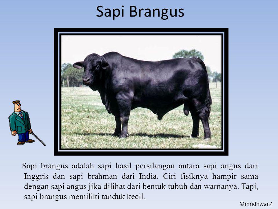 Sapi Brangus Sapi brangus adalah sapi hasil persilangan antara sapi angus dari Inggris dan sapi brahman dari India. Ciri fisiknya hampir sama dengan s