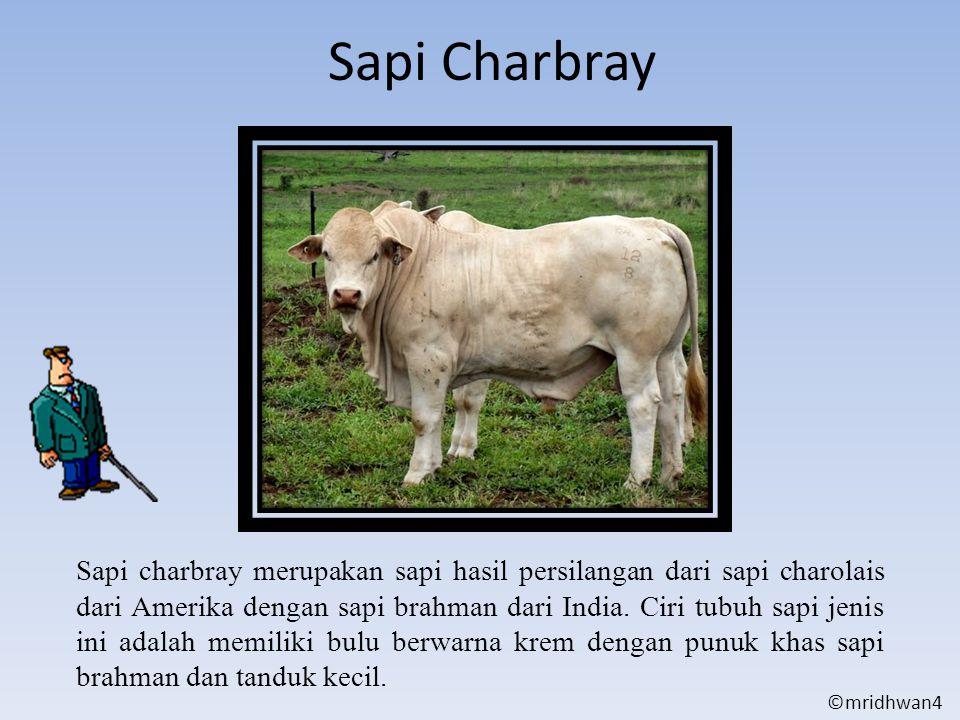Sapi Charbray Sapi charbray merupakan sapi hasil persilangan dari sapi charolais dari Amerika dengan sapi brahman dari India. Ciri tubuh sapi jenis in