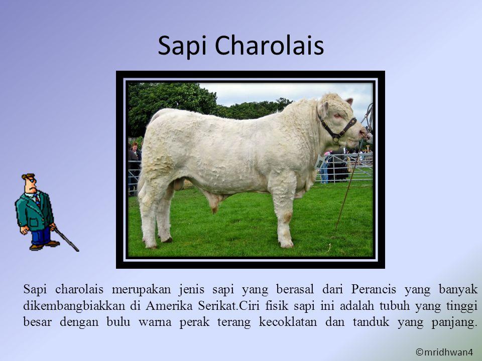Sapi Charolais Sapi charolais merupakan jenis sapi yang berasal dari Perancis yang banyak dikembangbiakkan di Amerika Serikat.Ciri fisik sapi ini adal