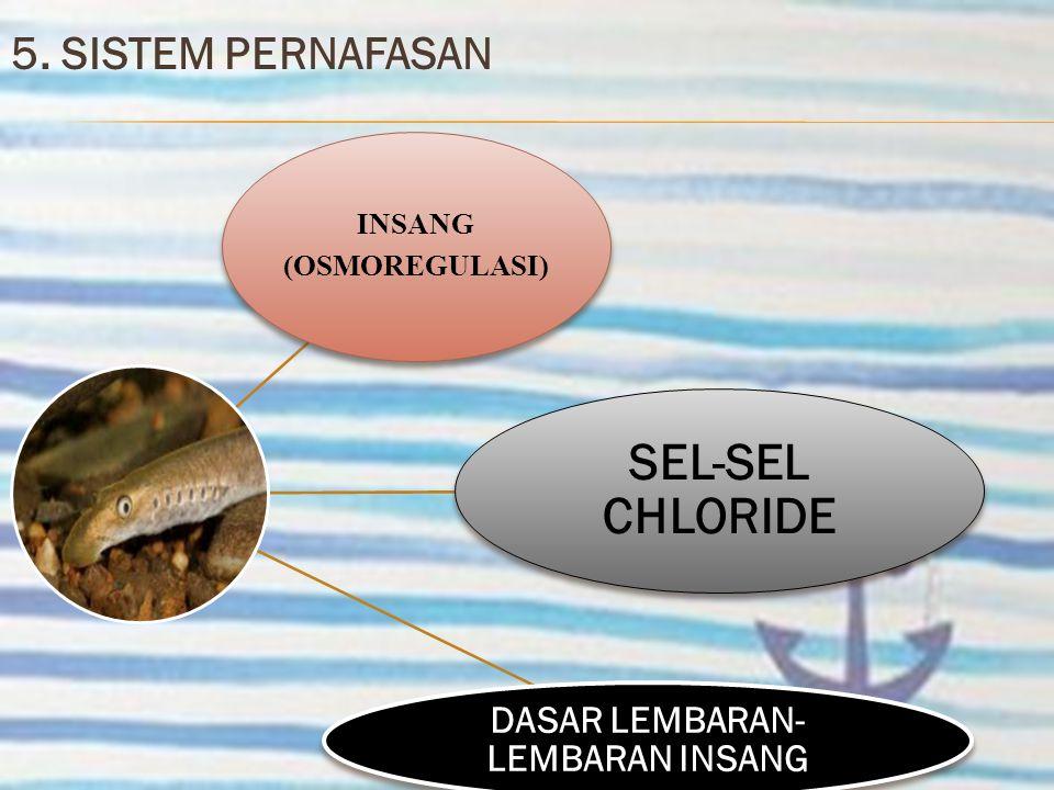 5. SISTEM PERNAFASAN INSANG (OSMOREGULASI) SEL-SEL CHLORIDE DASAR LEMBARAN- LEMBARAN INSANG