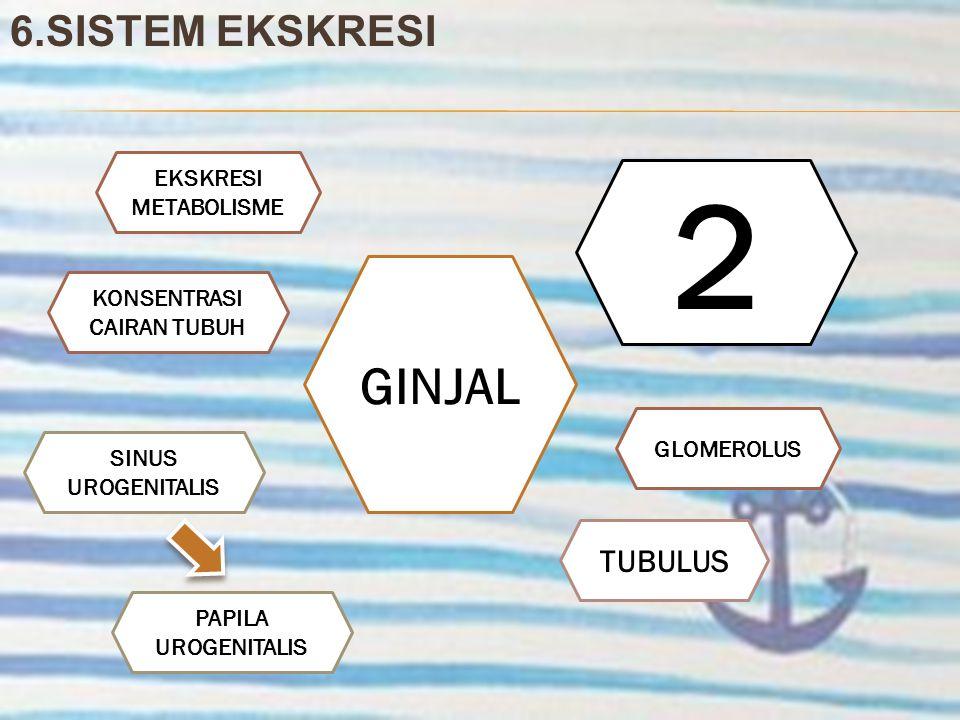 6.SISTEM EKSKRESI GINJAL 2 GLOMEROLUS SINUS UROGENITALIS EKSKRESI METABOLISME TUBULUS PAPILA UROGENITALIS KONSENTRASI CAIRAN TUBUH
