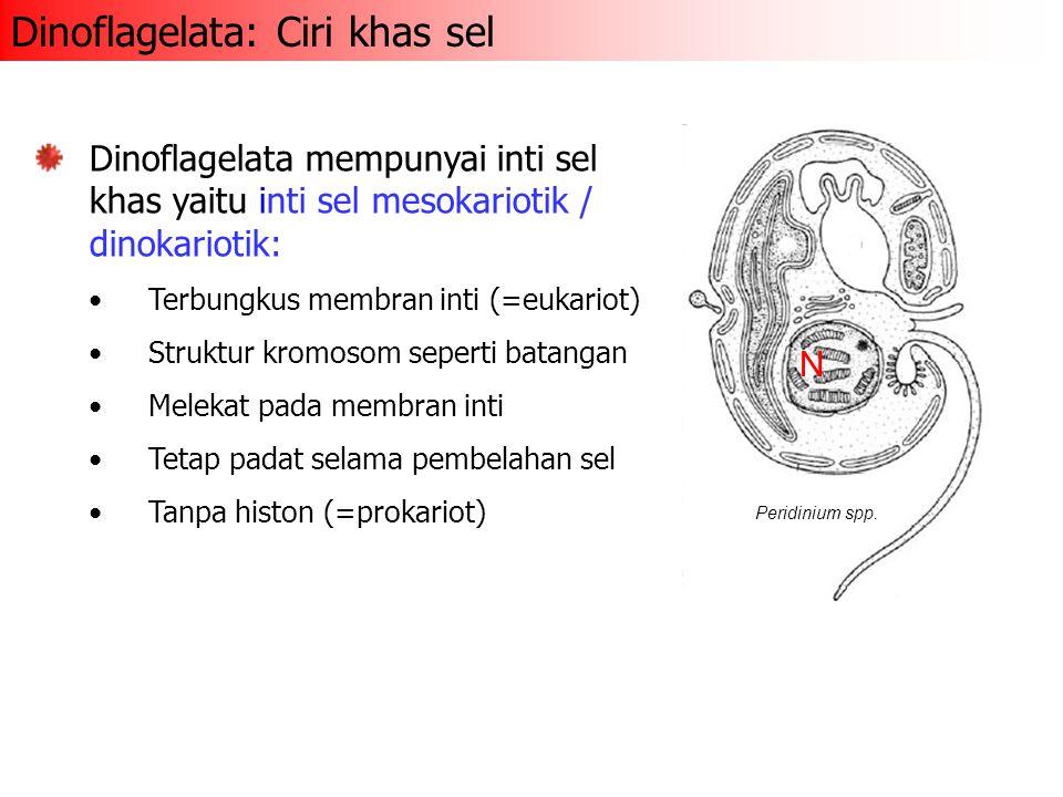 Dinoflagelata: Ciri khas sel Dinoflagelata mempunyai inti sel khas yaitu inti sel mesokariotik / dinokariotik: Terbungkus membran inti (=eukariot) Str