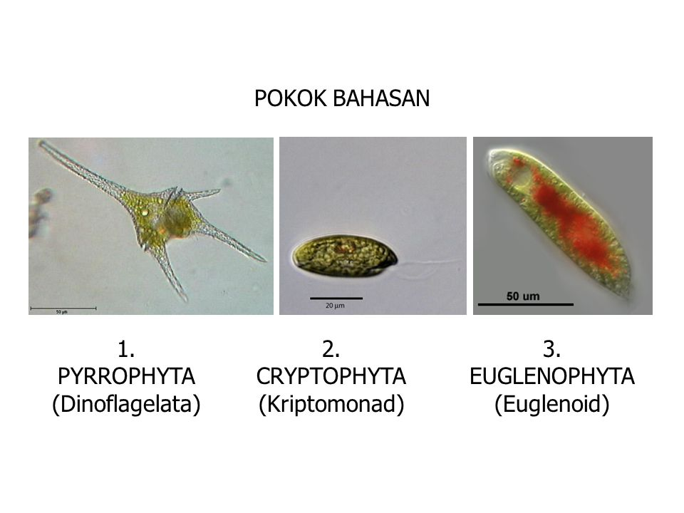 POKOK BAHASAN 1. PYRROPHYTA (Dinoflagelata) 2. CRYPTOPHYTA (Kriptomonad) 3. EUGLENOPHYTA (Euglenoid)