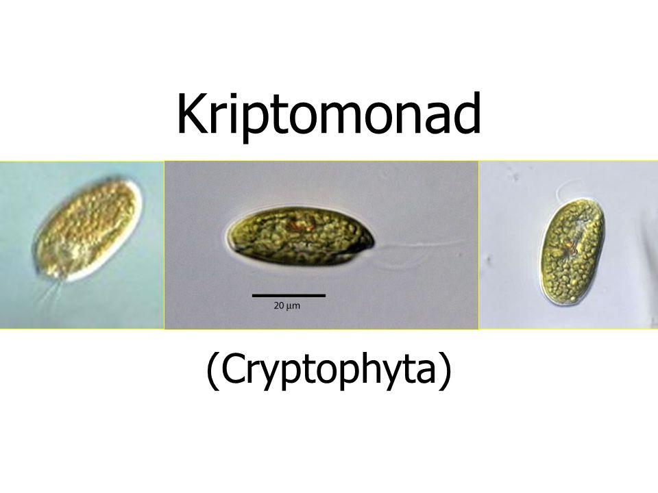 Kriptomonad (Cryptophyta)