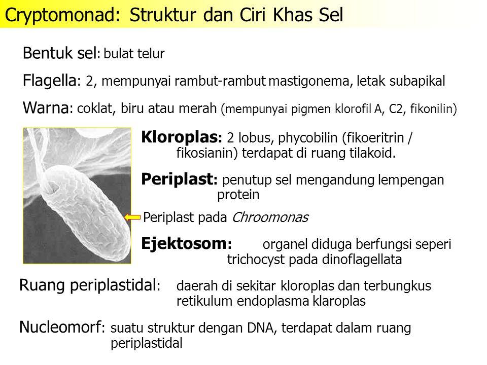 Kloroplas : 2 lobus, phycobilin (fikoeritrin / fikosianin) terdapat di ruang tilakoid. Periplast :penutup sel mengandung lempengan protein Ejektosom :