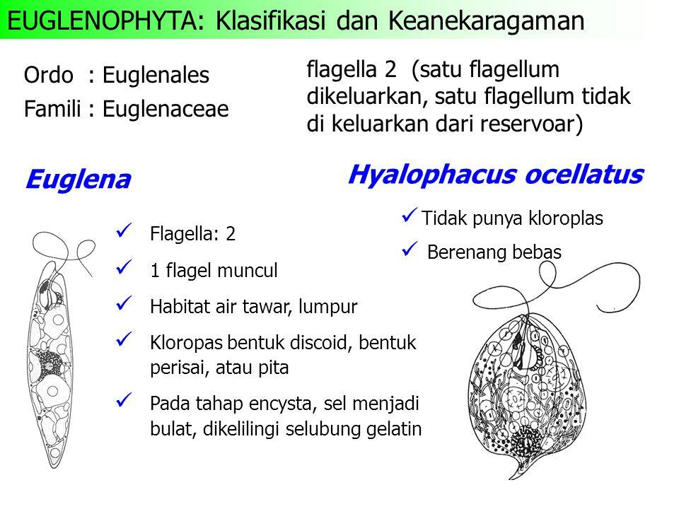 Ordo: Euglenales Famili: Euglenaceae ü Flagella: 2 ü 1 flagel muncul ü Habitat air tawar, lumpur ü Kloropas bentuk discoid, bentuk perisai, atau pita ü Pada tahap encysta, sel menjadi bulat, dikelilingi selubung gelatin Euglena Hyalophacus ocellatus ü Tidak punya kloroplas ü Berenang bebas EUGLENOPHYTA: Klasifikasi dan Keanekaragaman flagella 2 (satu flagellum dikeluarkan, satu flagellum tidak di keluarkan dari reservoar)