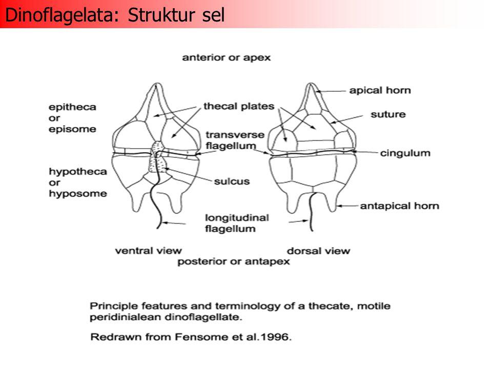 Techa: penutup sel berupa vesikel seperti lempengan terdapat di bawah membran sel ukuran, jumlah dan susunan penting untuk taksonomi: - desmokon = 2 lempengan besar - dinokon = jumlah dan ukuran teka bervariasi berasosasi dengan trichocyst (vesikel mengandung batang-batang kristalin berfungsi untuk pertahanan diri)( batang kristalin sewaktu-waktu dapat ditembakkan) Dinoflagelata: Ciri khas sel