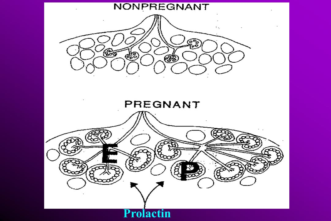 Milk ejection reflex & pelepasan oksitosin  Isapan bayi impuls neural SS tulang belakang  hipotalamus akhir saraf lobus posthipofise oksitosin ke aliran darah kontraksi myoepitel Reflek hisap + pelepasan prolaktin  Isapan bayi prolaktin sintesa air susu di epitel alveoli & sekresi air susu  Stimulus / - sekresi prolaktin bertahan  Frekuensi 6x/hr plasma prolaktin bertahan selama 1 th I postpartum