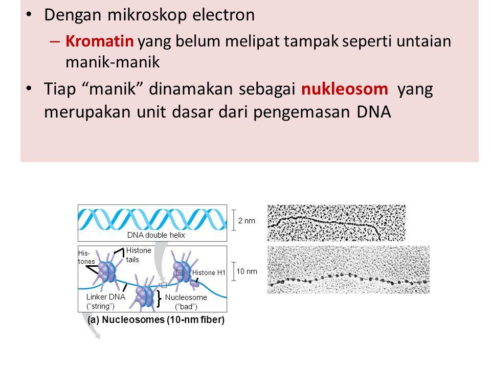 "Dengan mikroskop electron – Kromatin yang belum melipat tampak seperti untaian manik-manik Tiap ""manik"" dinamakan sebagai nukleosom yang merupakan uni"