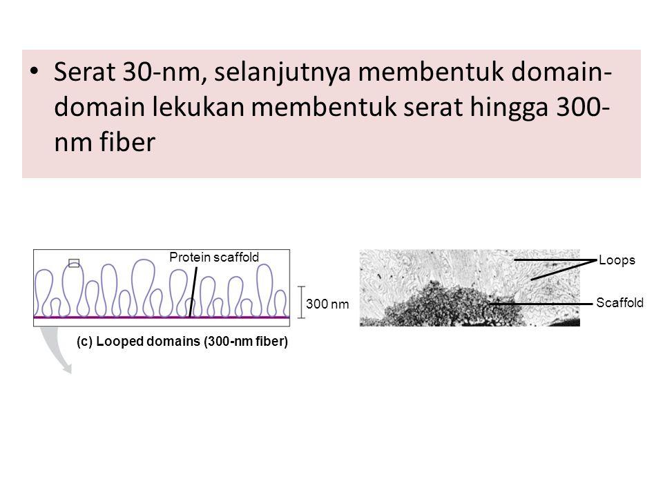 Serat 30-nm, selanjutnya membentuk domain- domain lekukan membentuk serat hingga 300- nm fiber Protein scaffold 300 nm (c) Looped domains (300-nm fibe