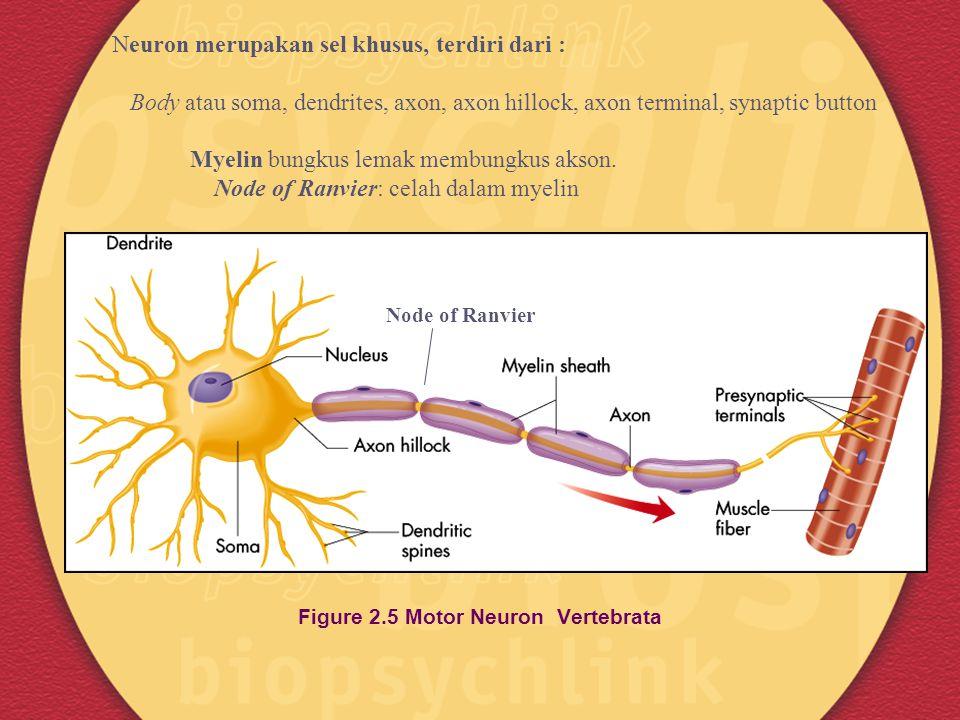 Figure 2.5 Motor Neuron Vertebrata Neuron merupakan sel khusus, terdiri dari : Body atau soma, dendrites, axon, axon hillock, axon terminal, synaptic