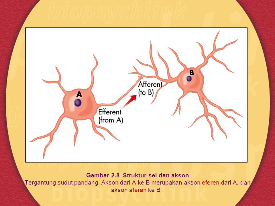 Gambar 2.8 Struktur sel dan akson Tergantung sudut pandang. Akson dari A ke B merupakan akson eferen dari A, dan akson aferen ke B.