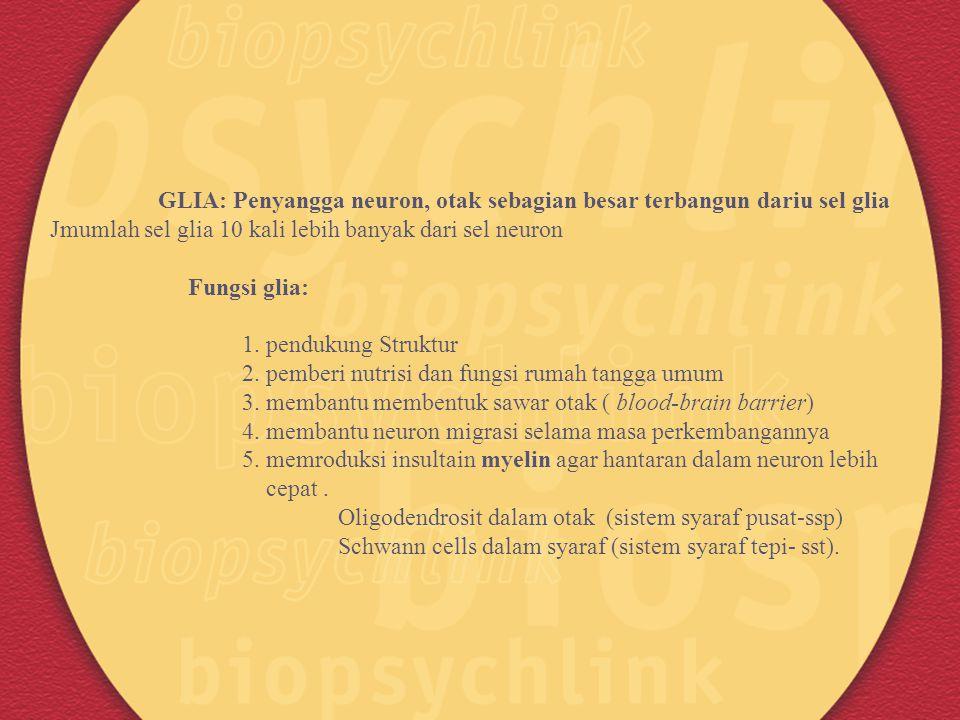 GLIA: Penyangga neuron, otak sebagian besar terbangun dariu sel glia Jmumlah sel glia 10 kali lebih banyak dari sel neuron Fungsi glia: 1. pendukung S