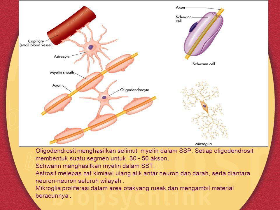 Gambar 2.11 (a) Bentuk beberapa sel glia Oligodendrosit menghasilkan selimut myelin dalam SSP. Setiap oligodendrosit membentuk suatu segmen untuk 30 -