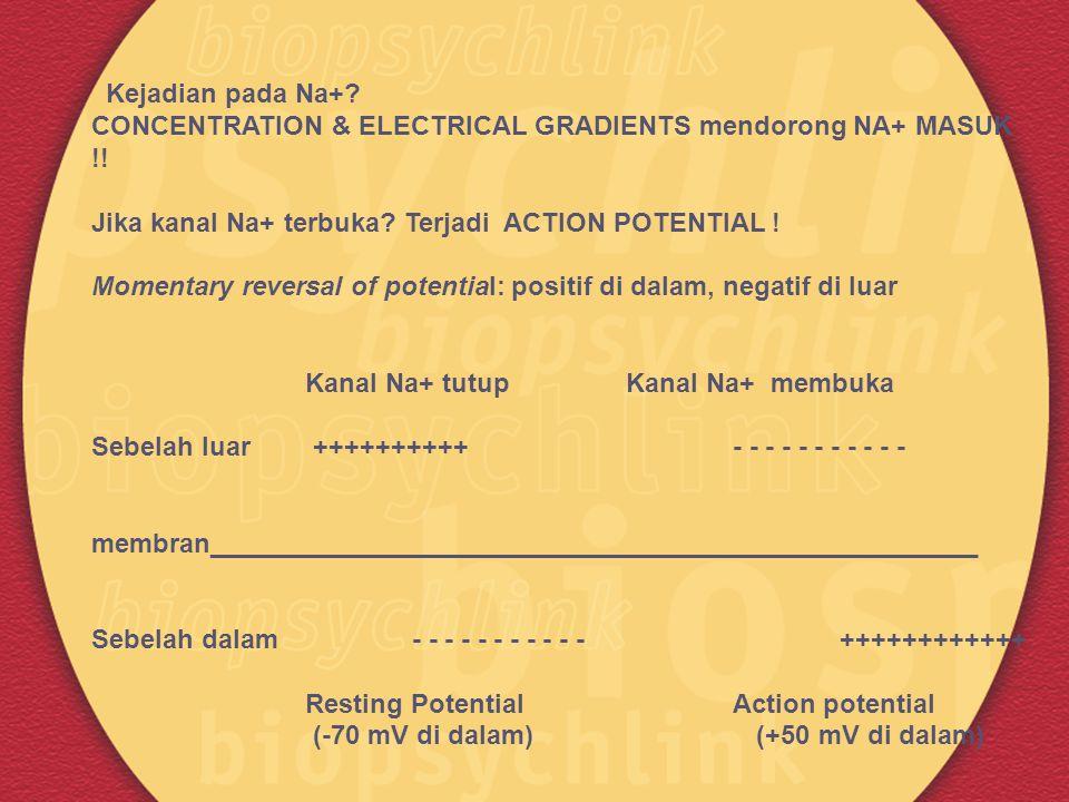 Kejadian pada Na+? CONCENTRATION & ELECTRICAL GRADIENTS mendorong NA+ MASUK !! Jika kanal Na+ terbuka? Terjadi ACTION POTENTIAL ! Momentary reversal o