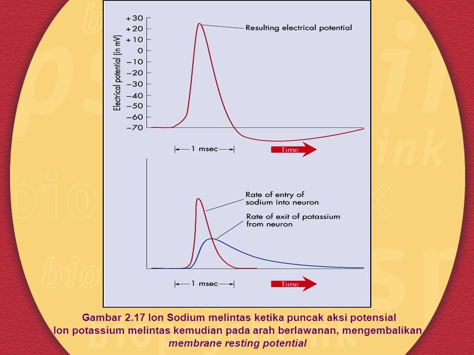 Gambar 2.17 Ion Sodium melintas ketika puncak aksi potensial Ion potassium melintas kemudian pada arah berlawanan, mengembalikan membrane resting pote