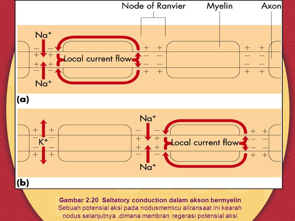 Gambar 2.20 Saltatory conduction dalam akson bermyelin Sebuah potensial aksi pada nodusmemicu aliransaat ini kearah nodus selanjutnya,dimana membran r