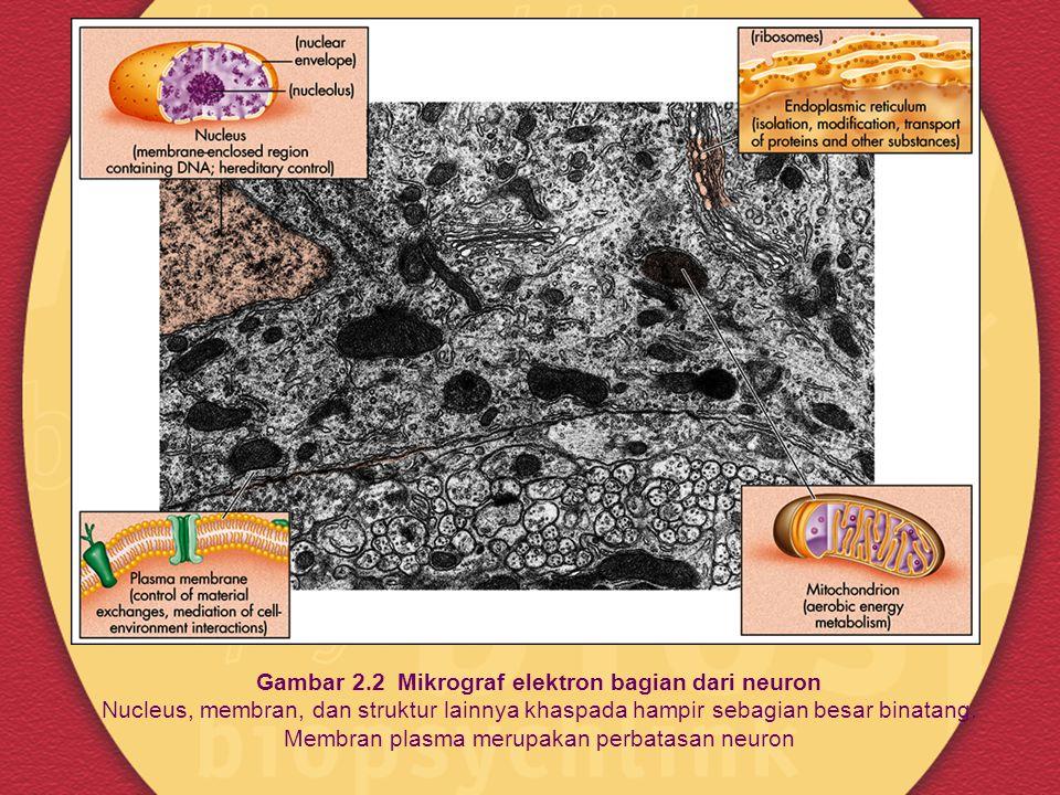 Struktur Neuron Dendrit: cabang serabut yang makin menyempit ketika membentang dari badan sel ke perifer: penerima informasi Dendritic spines: tonjolan pendek yang meningkatkan area permukaan yang disediakan untuk sinap Badan sel :berisi nukleus dan struktur lainnyayang ditemukan pada kebanyakan sel Axon: serabut tipis dengan diameter tetap, pada kebanyakan kasus lebih panjang dari dendrit; pengirim informasi Myelin:materi pelapis akson semacam pembungkus kabel; mempercepat komunikasi neuron Terminal Presinap : titik pada axon yang melepas zat kimiawi