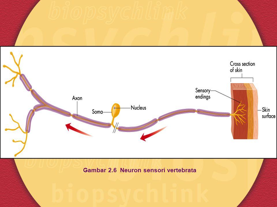 Gambar 2.6 Neuron sensori vertebrata