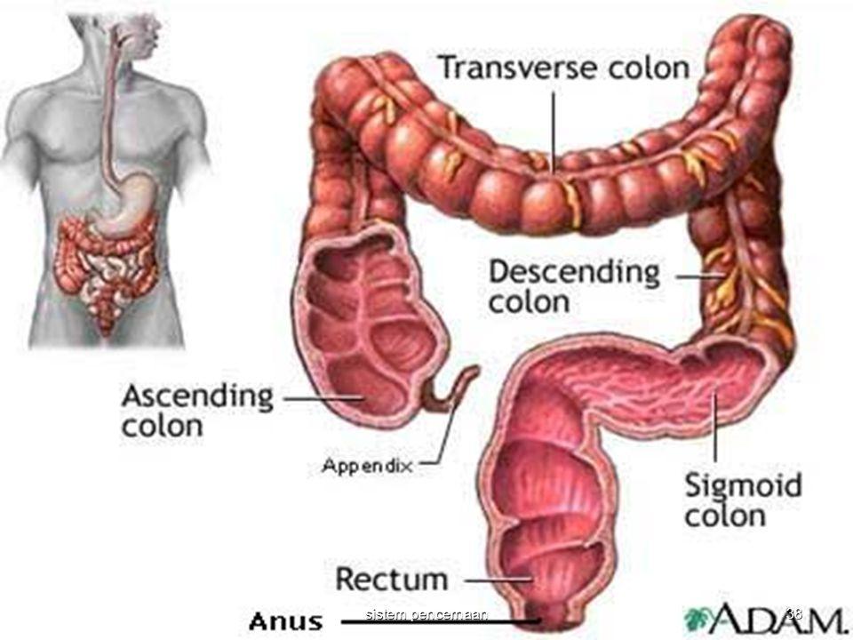 38 sistem pencernaan