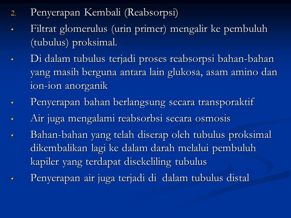 2. Penyerapan Kembali (Reabsorpsi) Filtrat glomerulus (urin primer) mengalir ke pembuluh (tubulus) proksimal. Filtrat glomerulus (urin primer) mengali
