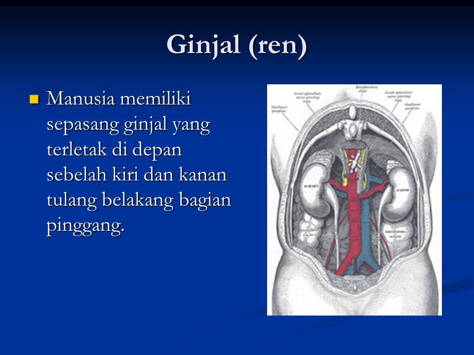 Ginjal (ren) Manusia memiliki sepasang ginjal yang terletak di depan sebelah kiri dan kanan tulang belakang bagian pinggang. Manusia memiliki sepasang