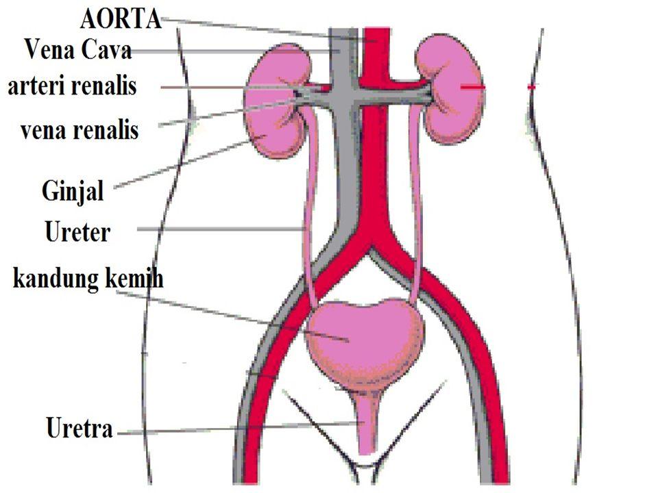 Faktor-Faktor yang Mempengaruhi Produksi Urin: 1.hormon antidiuretik, 2.